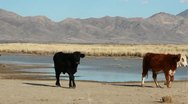 Stock Video Footage of Cows Arizona Desert Grassland
