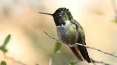 Anna's Hummingbird Preens Stock Footage