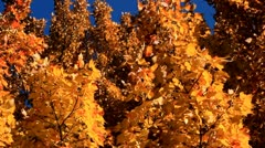 Golden Yellow Fall Leaves with Deep Blue Autumn Sky - stock footage