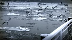 Seagulls over Icy River 07 Stock Footage