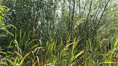 Cattails in Landscape Stock Footage