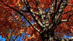 Red and Orange Fall Leaves with Deep Blue Autumn Sky - stock footage