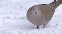 A Eurasian collared dove looking for food in snow. Stock Footage