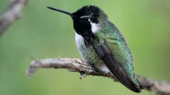 Hummingbird Sharpens Beak Stock Footage