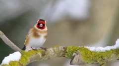 Goldfinch on a branch in the snow. Stock Footage