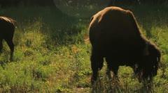 Buffalo eating. Stock Footage