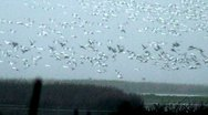Snow Geese fly over wetlands in CA Stock Footage
