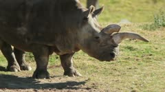 Northern White Rhinoceros Stock Footage