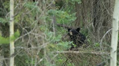 Black bear in forest - stock footage
