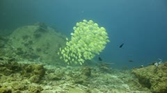 School of fish convict surgeonfish Stock Footage