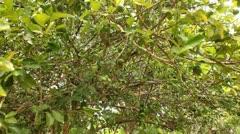 Lemon Tree Stock Footage