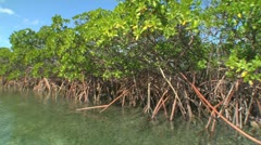 Panning mangroves - stock footage