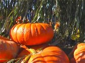 Pumpkins Under the Willow Tree Sunny Stock Footage
