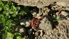 Stock Video Footage of Red beetles copulate and get sun warm on the ground