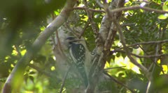 Woodpecker in Forest close up. Stock Footage