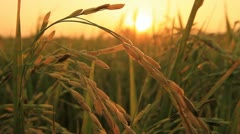 Rice farm. Stock Footage