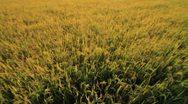 Rice farm. Stock Footage