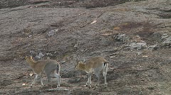 Klipspringer Stock Footage