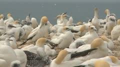 Gannet seabird colony Stock Footage