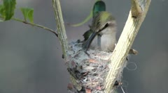 Hummingbird Nest Closeup Stock Footage