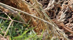 AGRICULTURE: ECU slow pan across harvested dry rice stalks and rice grains Stock Footage