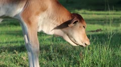 MS Baby Asian Cow Grazing Stock Footage