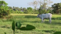 MS white Asian cow eating in grassy field Stock Footage