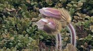 Pulsatilla vernalis alpine flower Stock Footage