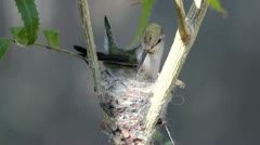 Hummingbird Compact Nest Stock Footage