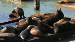 San Francisco Sea Lions 2 Stock Footage