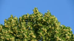 Linden tree top blossom Stock Footage