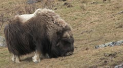 Muskox male Stock Footage