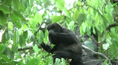 HD wild mantled howler monkey (Alouatta palliata) 17 eating in the wild  Stock Footage