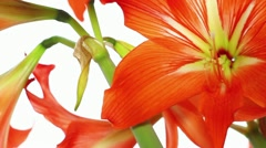 Bright red lily (pan) Stock Footage