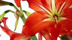 Red lily flowers (tilt) Stock Footage