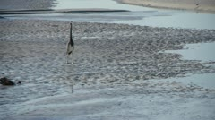 Crane walks on beach, flys out of frame Stock Footage