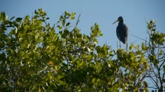 Little Blue Heron standing on bush, flies off Stock Footage