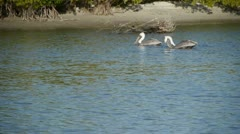 Various Pelicans eating near shoreline at Fort Myers, Florida Stock Footage