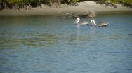 Stock Video Footage of Various Pelicans eating near shoreline at Fort Myers, Florida