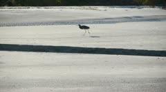 Single Crane walking on Beach Stock Footage