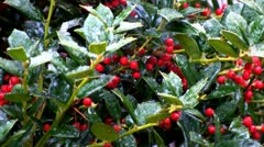 Holly berries and snow drops; 2 Stock Footage