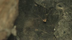 Night Rack Focus Daddy Longlegs to Web Spider in Tree Stock Footage