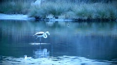 Flamingo Stock Footage