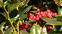 Holly berries in the sunshine; 2 Stock Footage
