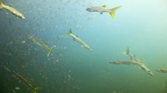 School of barracuda and small fish open ocean Stock Footage