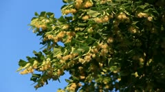 Linden tree soft flowers and leafs Stock Footage