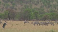 Plain zebra - stock footage