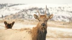 Elk Bull Cow Antlers Hunting - stock footage