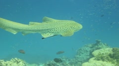 Leopard shark swimming underwater Stock Footage