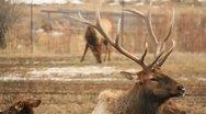 Elk Bull Cow Antlers Hunting 18 Stock Footage